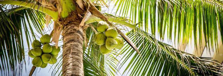 Coconuts in a tree, waiting to fall