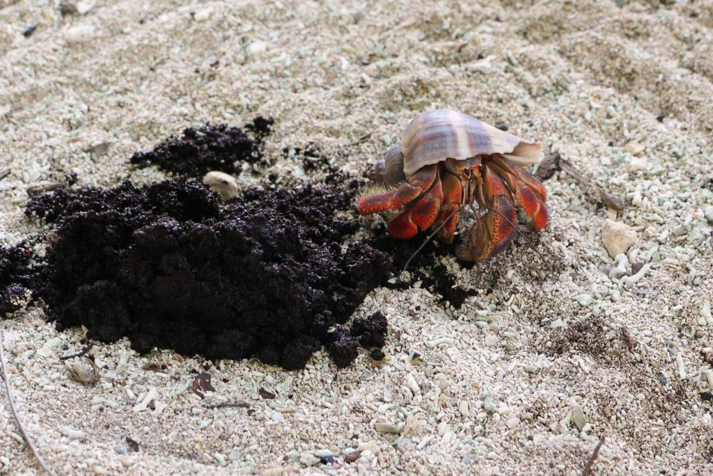 A hermit crab chowing down on coffee grounds