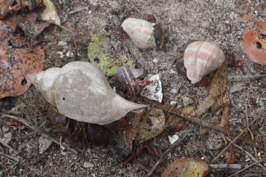 Three different shells on three difference hermit crabs