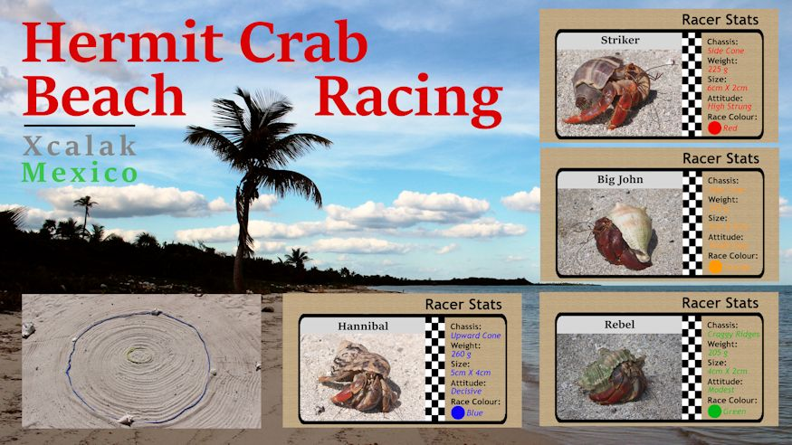 Video - it's time for Hermit Crab Racing!