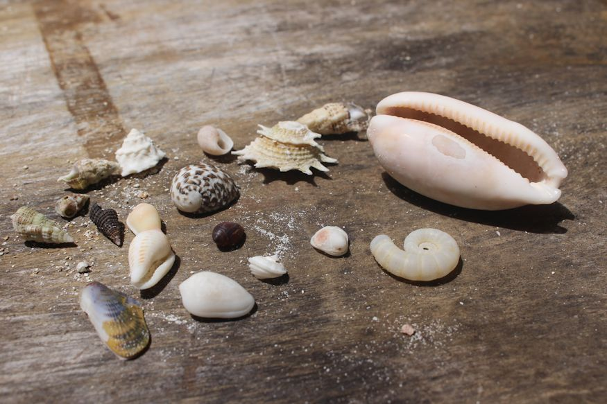 Various seashells, none of which is a conch shell