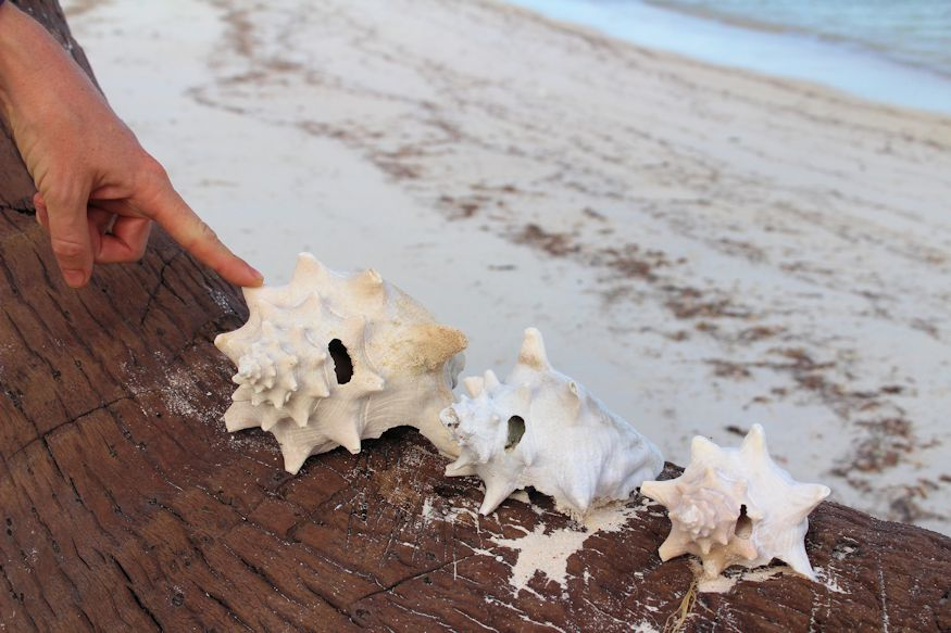 Three sizes of conch shell - Daddy bear size, Mommy bear size, and Baby bear size