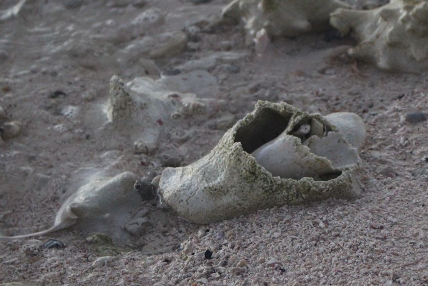 A totally deteriorated conch shell lying on the beach, dying (pretty much)