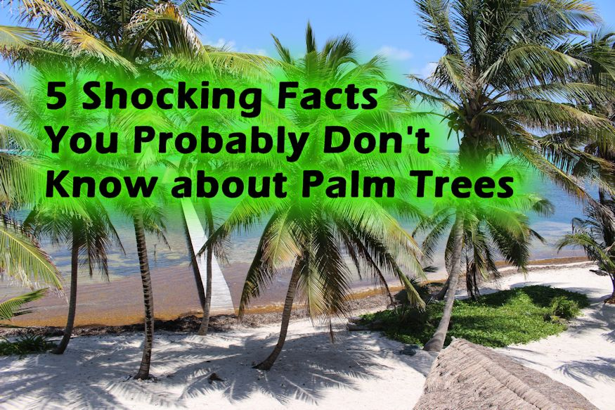 Xcalak Palm Tree featured image - 5 Shocking Facts You Probably Don't Know about Palm Trees