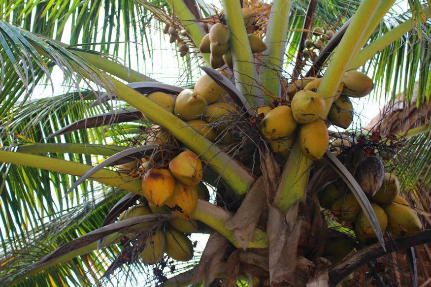 An Xcalak palm tree loaded with tasty coconuts