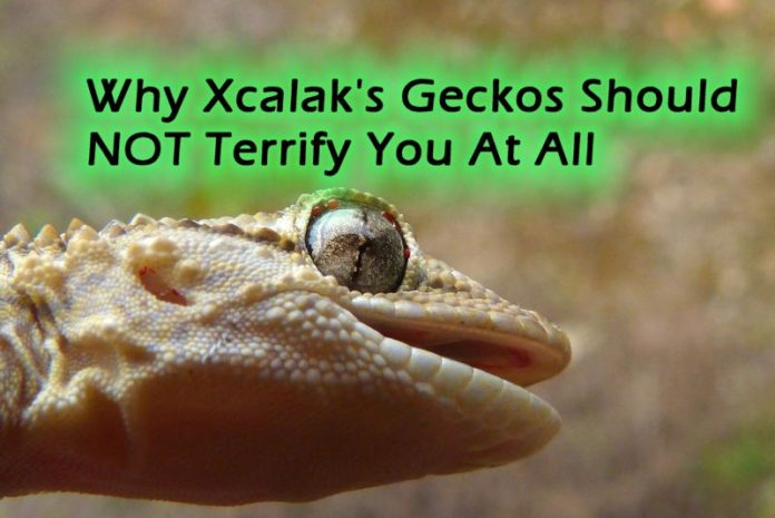 Geckos in Xcalak featured image - Why Xcalak's Geckos Should NOT Terrify You At All