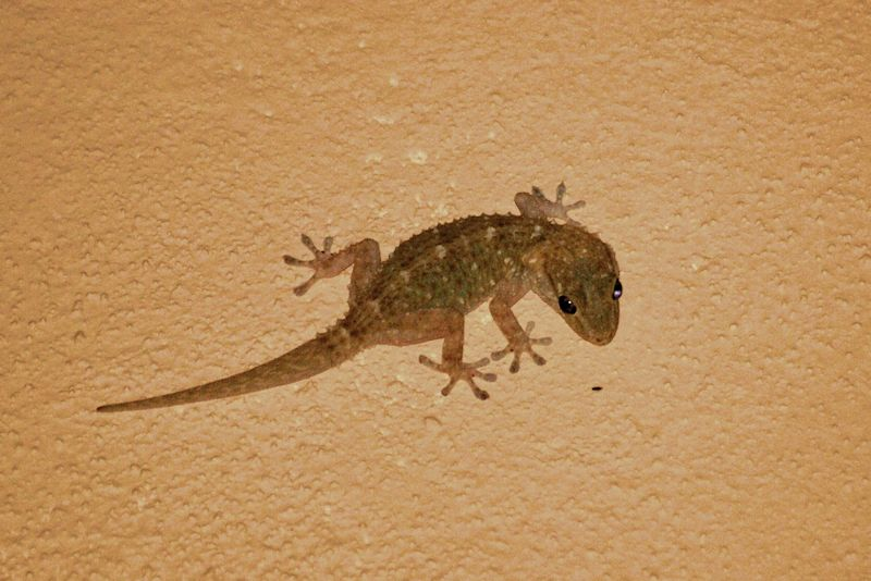 A beige Common House Gecko on a tan background in Xcalak