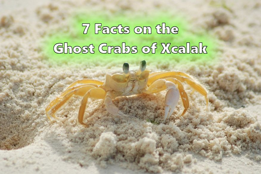 Ghost Crab in Xcalak