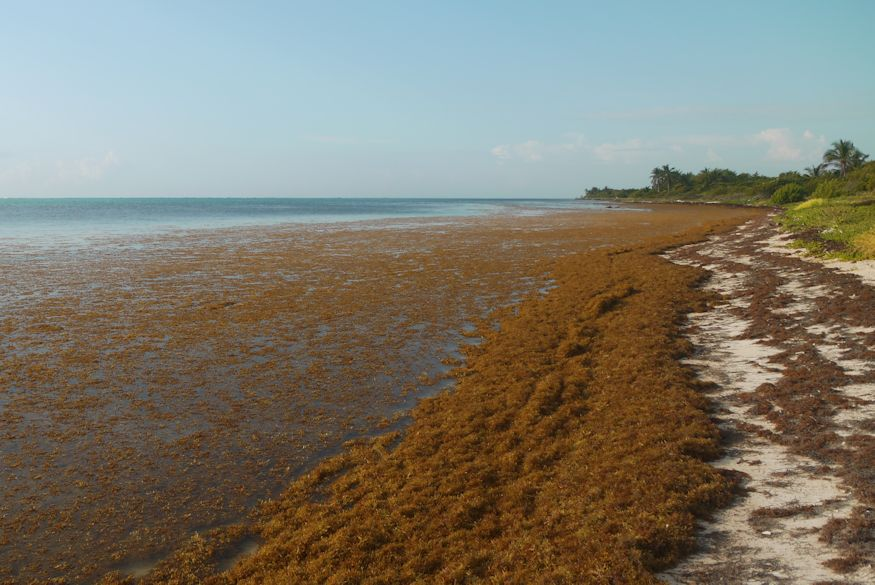 Sargassum in Xcalak, washed in on the beach