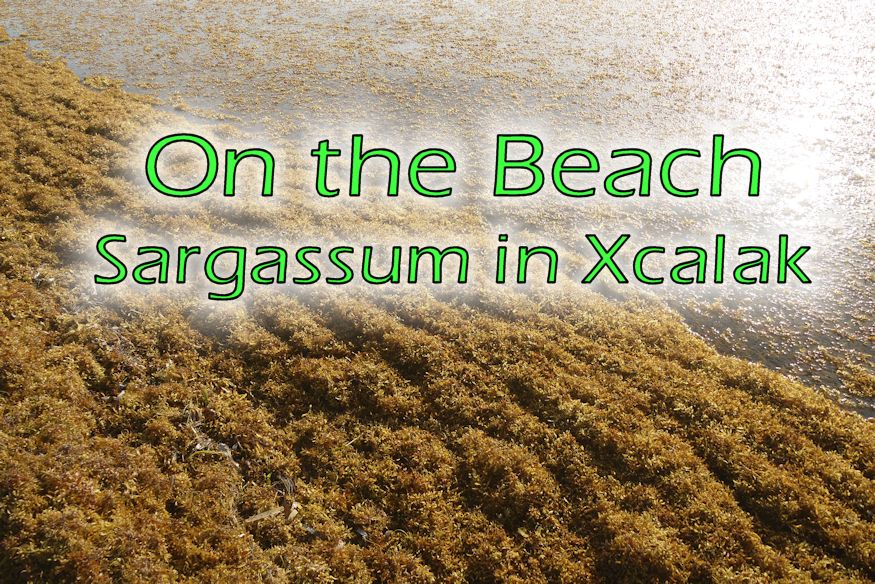 Sargassum in Xcalak featured image with ripples of green sargassum washed into shore
