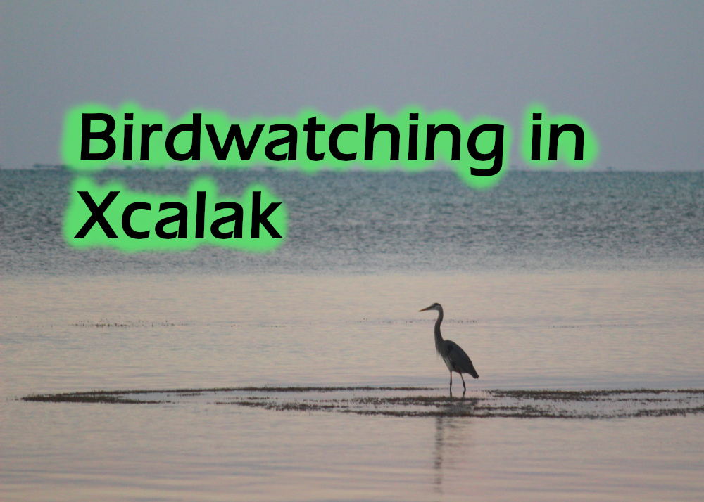 An egret stands in the shallows - Birdwatching in Xcalak featured image