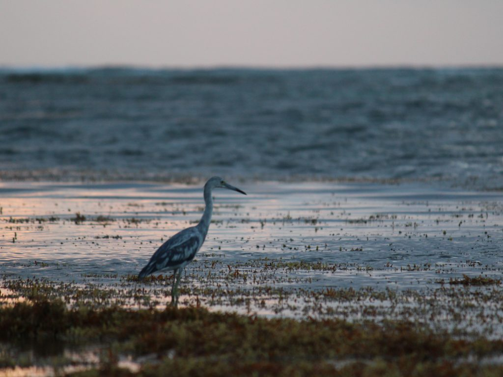 An egret wading through sargasso
