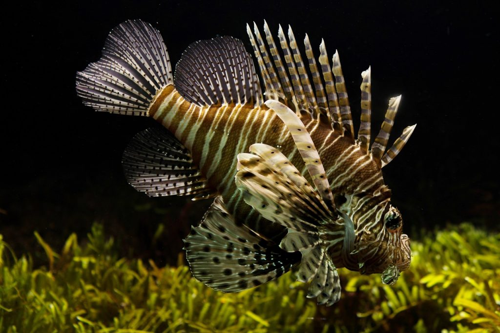 A beautiful, deadly, and voracious lionfish