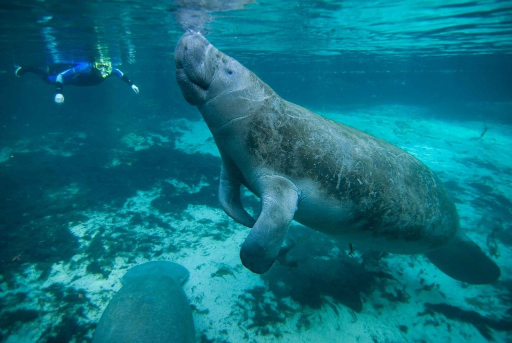 Xcalak has manatees like this guy