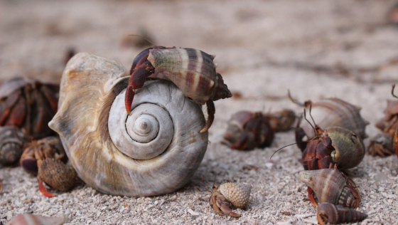 Hermit crabs looking for a shell